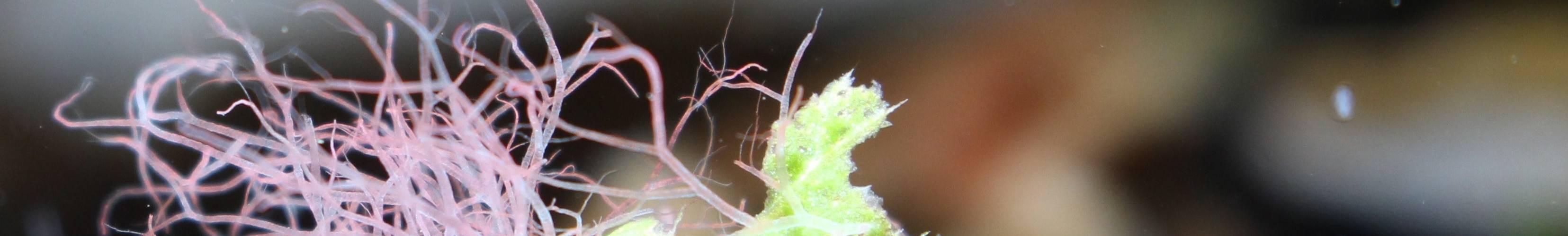 Algen im Aquarium Bild von Shrimpnerd