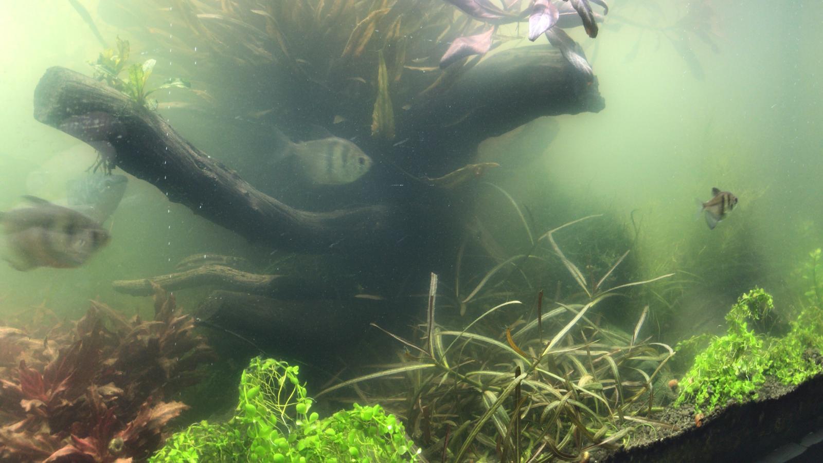 Atemberaubend Grüne Schwebealgen oder die Algenblüte - Algen-im-Aquarium.de #CX_49